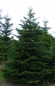 Weihnachtsbaum im topf kaufen schweiz europ ische for Nordmanntanne im topf